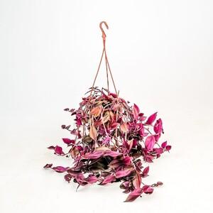 Fidan Burada - Tradescantia Zebrina - Telgraf Çiçeği Askılı 40-60 cm