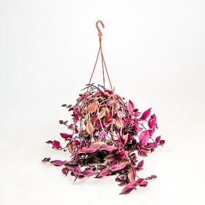 Ücretsiz Kargo - Tradescantia Zebrina - Telgraf Çiçeği Askılı 40-60 cm