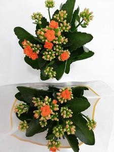 Fidan Burada - Turuncu Kalanşo Çiçeği- Orta Boy-Kalanchoe