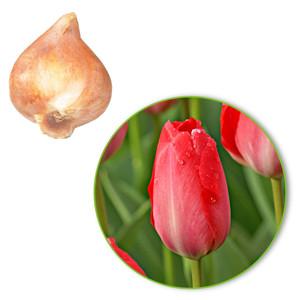 Van Eijk Lale Soğanı-İthal-10 Adet - Thumbnail