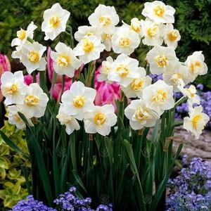 Fidan Burada - White Cheerfulness Nergis Soğanı-İthal-7 Adet