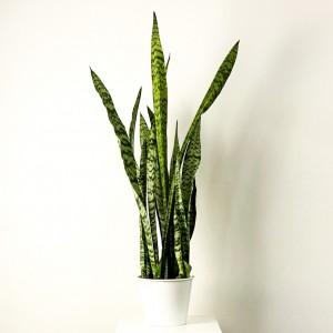 Fidan Burada - Yeşil Paşa Kılıcı Beyaz Metal Saksılı Sansevieria Zeylanica 80-100cm