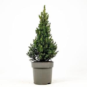 Fidan Burada - Yılbaşı Çamı-Konik Ladin - Picea Conica
