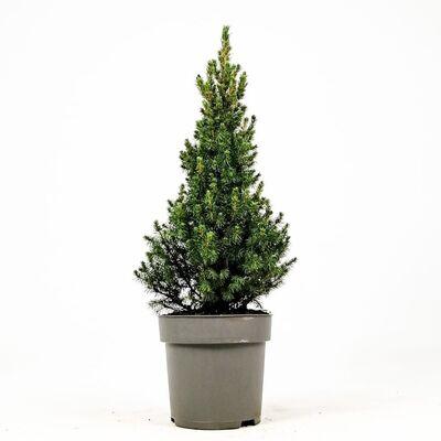 Yılbaşı Çamı-Konik Ladin - Picea Conica