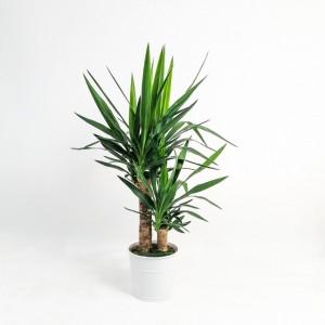 Fidan Burada - Yuka Bitkisi 2 Gövdeli Beyaz Dekoratif Saksılı (Yucca Massengena)