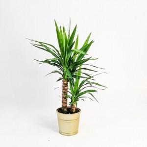 Fidan Burada - Yuka Bitkisi 2 Gövdeli Gold Dekoratif Saksılı (Yucca Massengena)