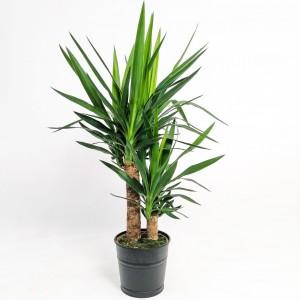 Fidan Burada - Yuka Bitkisi 2 Gövdeli Siyah Dekoratif Saksılı (Yucca Massengena)