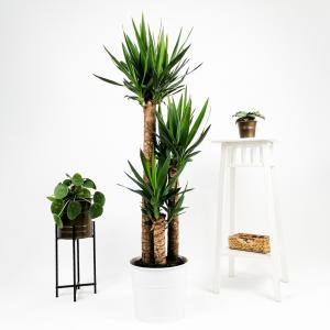 Fidan Burada - Yuka Bitkisi 3 Gövdeli Beyaz Dekoratif Saksılı