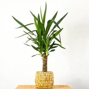 Fidan Burada - Yuka Bitkisi Straw Hasır Saksılı (Yucca Massengena) Tek Gövdeli 40-50cm