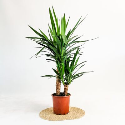 YUKA BİTKİSİ (Yucca Massengena) 2 Gövdeli 70-90 Cm