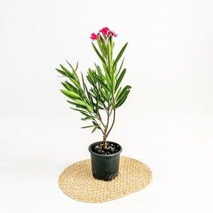 Zakkum Çiçeği - Nerium Oleander - Thumbnail