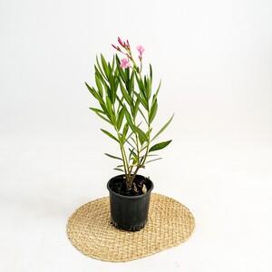 Fidan Burada - Zakkum Çiçeği - Nerium Oleander