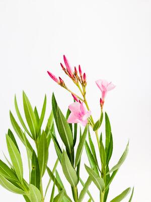 Zakkum Çiçeği - Nerium Oleander