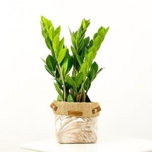 Fidan Burada - Zamia Bitkisi - Plant Basket (Medium) 40-50cm