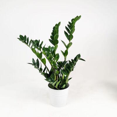 Zamia Bitkisi - Zamioculcas - 60-80 Cm-İthal Bitki