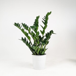 Fidan Burada - Zamia Bitkisi - Zamioculcas - 60-80 Cm-İthal Bitki