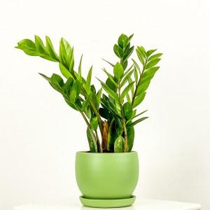 Fidan Burada - Zamia Bitkisi - Zamioculcas Zamiifolia 40-50cm
