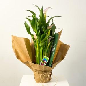 Fidan Burada - Zantedeschia Gala Gelin Çiçeği Lila