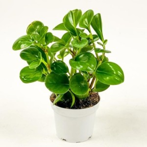 Fidan Burada - Zümrüt Dalgası Bitkisi-Peperomia Obtusifolia
